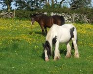 Fergus & Molly enjoying the buttercups